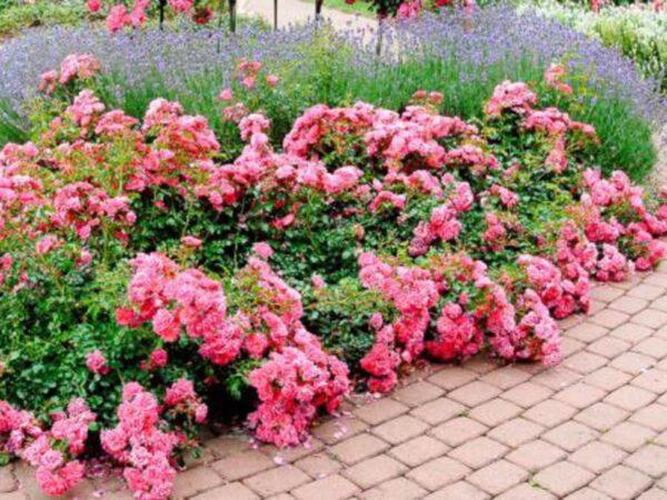 Почвокровные розы