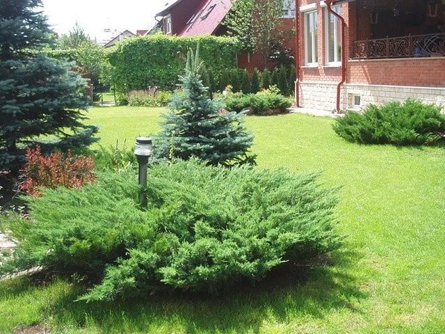 Подбор и посадка хвойных деревьев