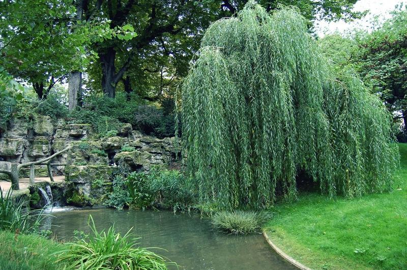 Садовая плакучая Ива