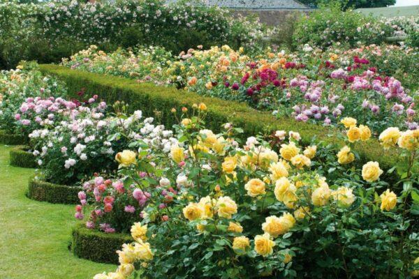 Английский сад розарий