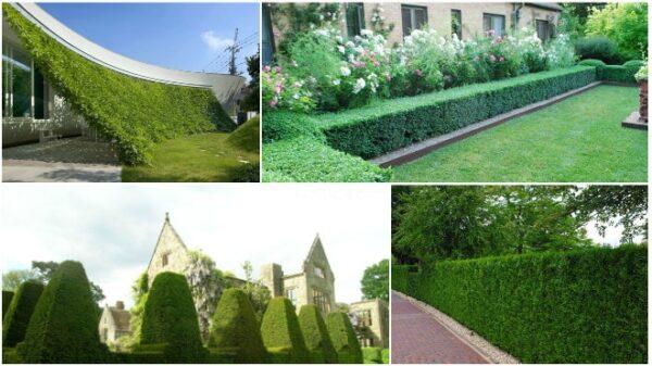 Озеленение живой изгородью